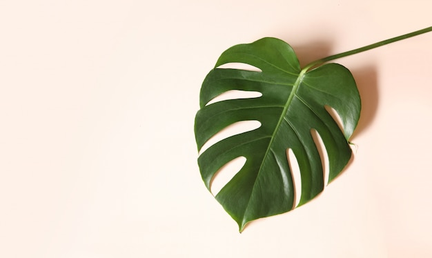 Tropical leaves of monstera on pink background.