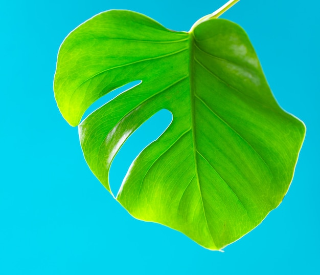Tropical leaves monstera on turquoise background. flat lay