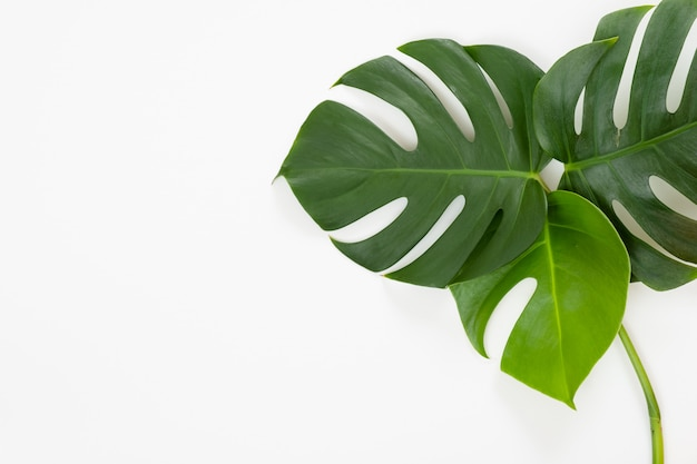 Tropical leaves monstera on white background.