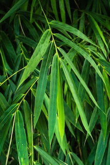 Tropical leaves in nature,foliage bamboo leaf natural background.