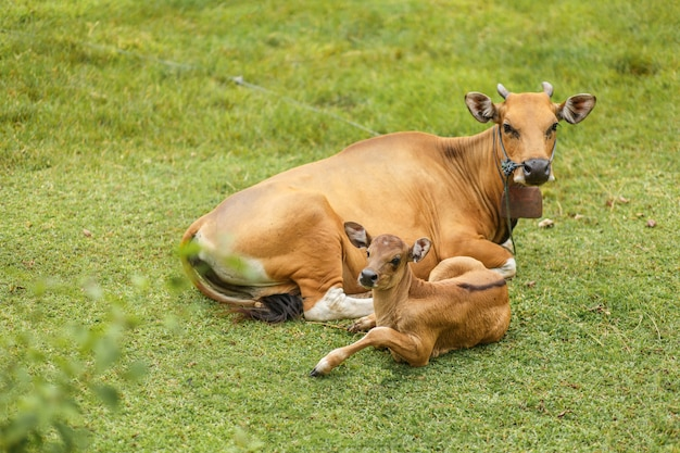 Tropical light asian cow with a child resting lying on a green meadow.