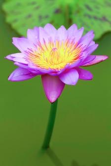 熱帯蓮の花