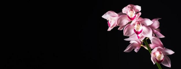 검은 배경, 넓은 가로 형식에 열 대 사랑스러운 분홍색 난초. 텍스트 배치