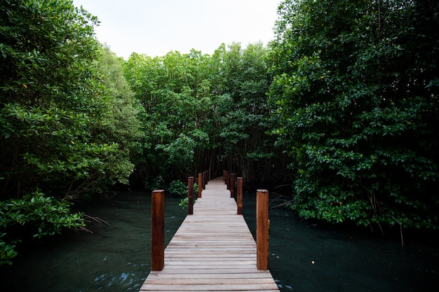 Tropical mangrove forest at kung kraben bay nature center, thailand