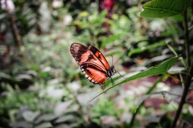 熱帯雨林の葉の上で熱帯モナークバタフライ。オレンジディオーネジュノ