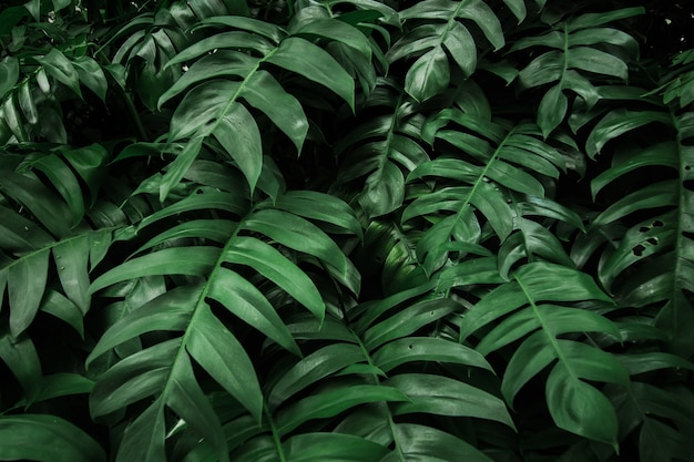 Tropical monstera green leaf in forest texture background