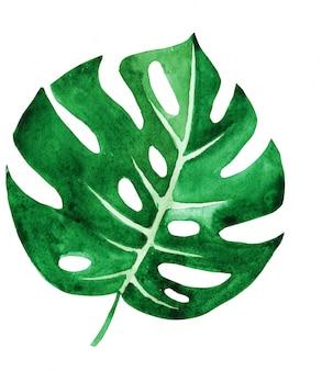 熱帯のモンステラの葉は白で隔離されます。手作りの水彩画。