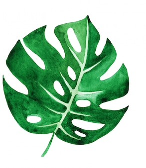 Tropical monstera leaf isolated on white. handmade watercolor.