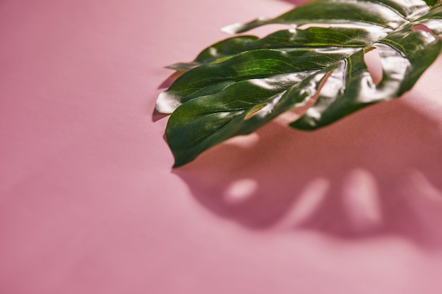 Tropical monstera leaf with shadow on a pink background