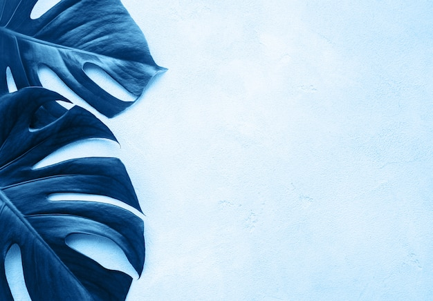 Tropical monstera leaves in blue color