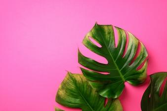 Тропический Монстера листья на розовом фоне.