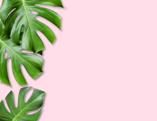 Tropical monstera leaves pink background.