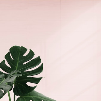 Tropical monstera leaves on pink background