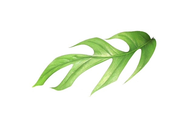 Tropical monstera palm leaf tree with clipping path