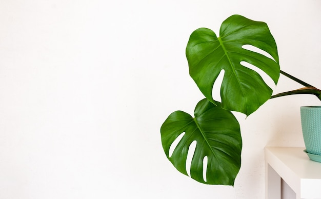 Tropical monstera plant in a flower pot on a table against a white wall with a copy space