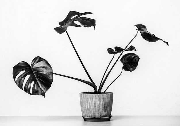 Tropical monstera plant in a flower pot on a table against a white wall