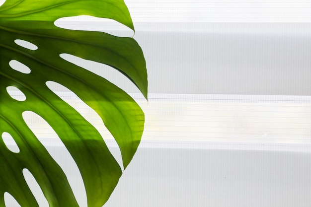 Tropical natural sheet monstera leaves on the background of a window with roller blinds