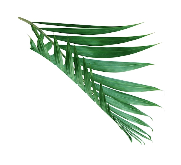 Tropical nature green palm leaf isolated pattern