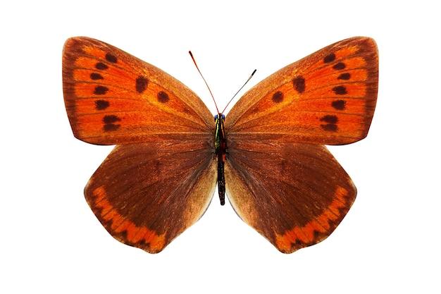 열 대 오렌지 나비. 흰색 배경에 고립