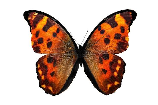 Тропическая оранжевая бабочка. изолированные на белом фоне