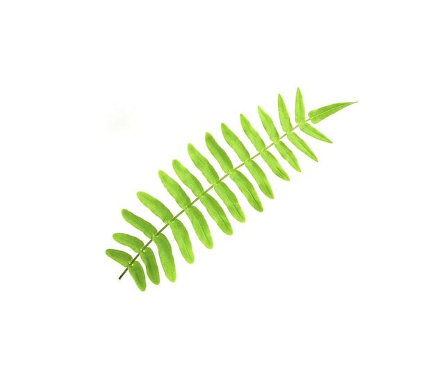 熱帯の観賞用の葉、シダの葉の木