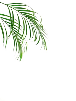Tropical palm leaf on white background