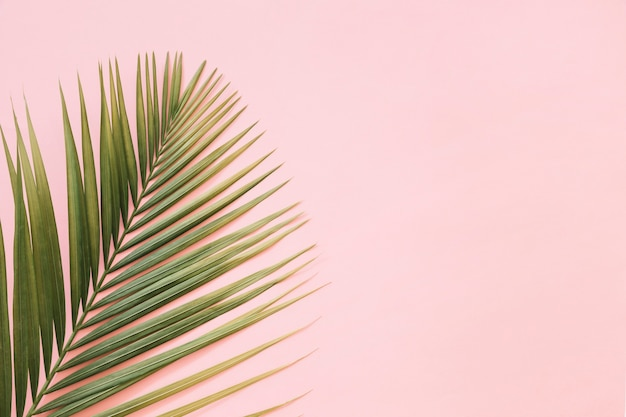 Tropical palm leaves isolated on pink backdrop