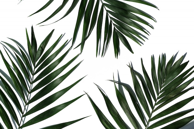 白い背景の上の熱帯のヤシの木の葉