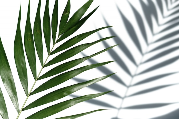 Tropical palm tree leaf on a white background