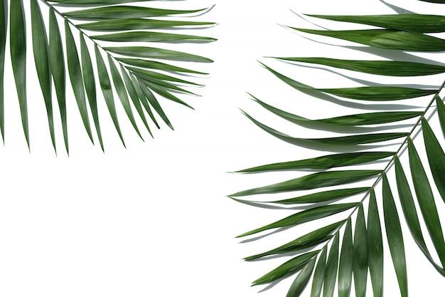 Tropical palm tree leaf on a white background