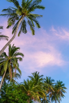 Tropical palm trees against a blue-purple sunset sky. sunset in the tropics