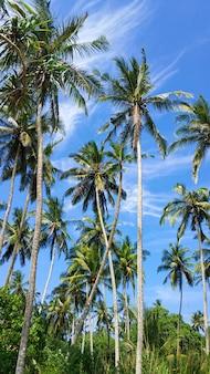 Тропические пальмы на фоне голубого неба. райский остров, природа и растения