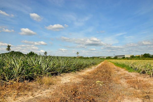 Tropical pineapple plantation and the blue sky background