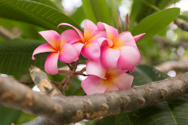 Tropical pink frangipani flowers on green leaves. close up plumeria tree.