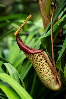 Тропические растения кувшин обезьяны чашки