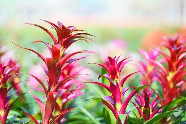 Тропическое растение цветок бромелия в саду - красочные фермы бромелиевых украшают в питомнике фоне