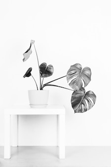 Tropical plant monstera in a flower pot on a table against a white wall, black and white