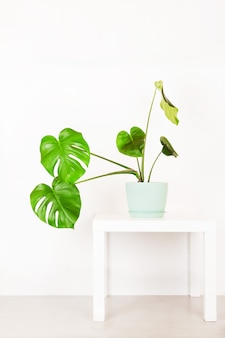 Tropical plant monstera in a flower pot on a table against a white wall