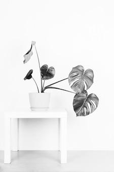 Монстера тропическое растение в цветочном горшке на столе у белой стены, черно-белое