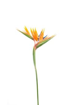 Стрелиция тропическое растение с цветами