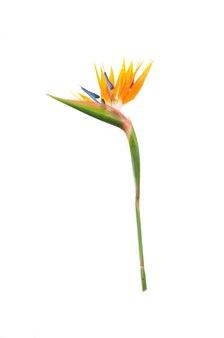 色の熱帯植物ストレチア