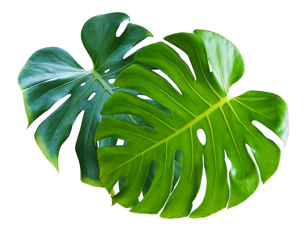 Tropical plant with monstera leaves isolated.