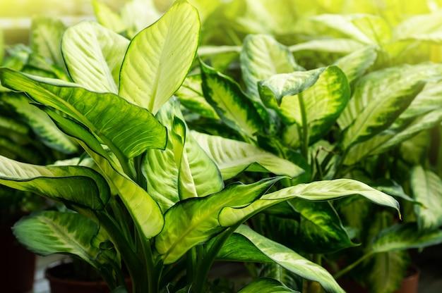 Tropical plants ficus. lots of green plants. gardening in greenhouse. botanical garden
