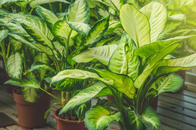 熱帯植物のイチジク。緑の植物がたくさん。温室でのガーデニング。植物園