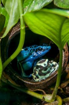 熱帯雨林の展示。コバルトヤドクガエル緑と黒のヤドクガエル