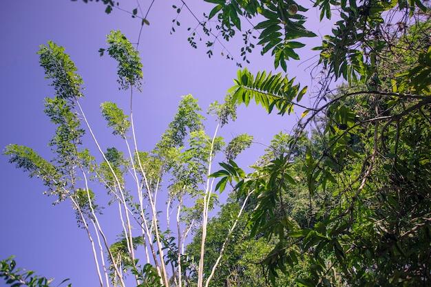 Тропическое дерево снизу в доминиканской республике