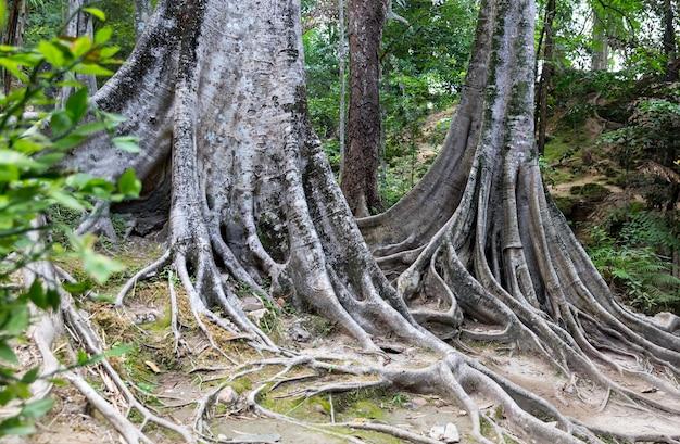 熱帯の木の根。