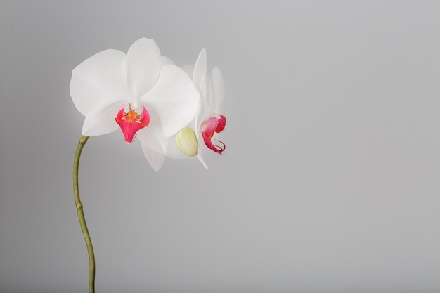 Tropical white orchid on a gray, light background. free space, copy-space