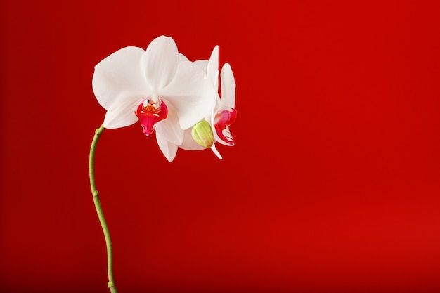 Tropical white orchid on a red background. free space, copy-space