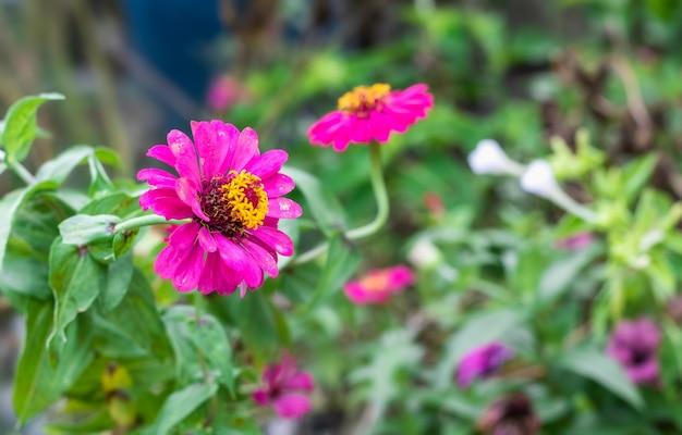 熱帯の百日草の花がぼやけた背景で庭にクローズアップ